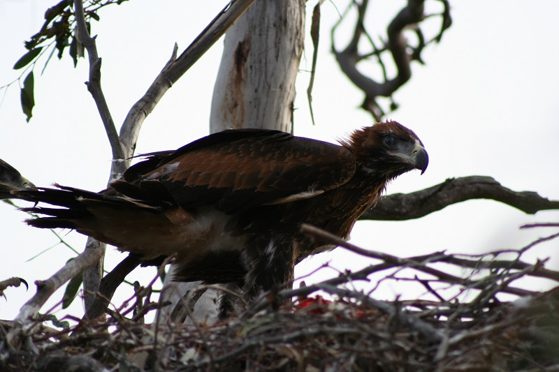 Wedgetail eaglet