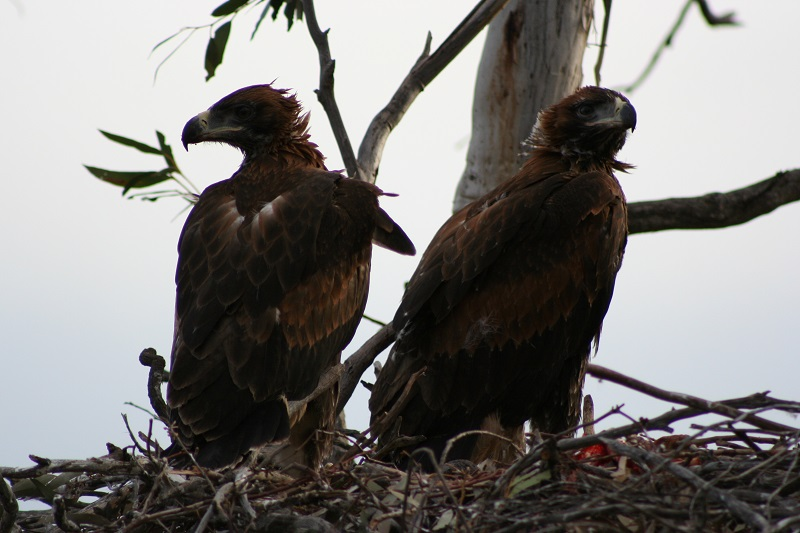Wedgetail eaglets